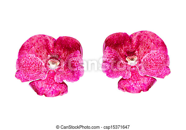 Vanda orchid Isolated with a white background - csp15371647