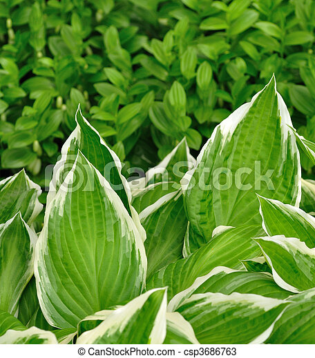 Variegated Hosta Leaves With White Edges