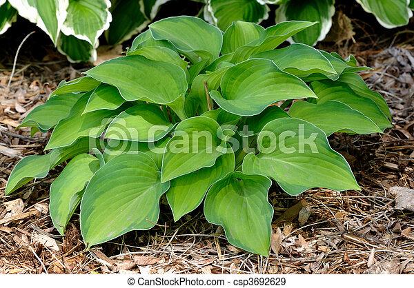 Variegated Hosta Plant