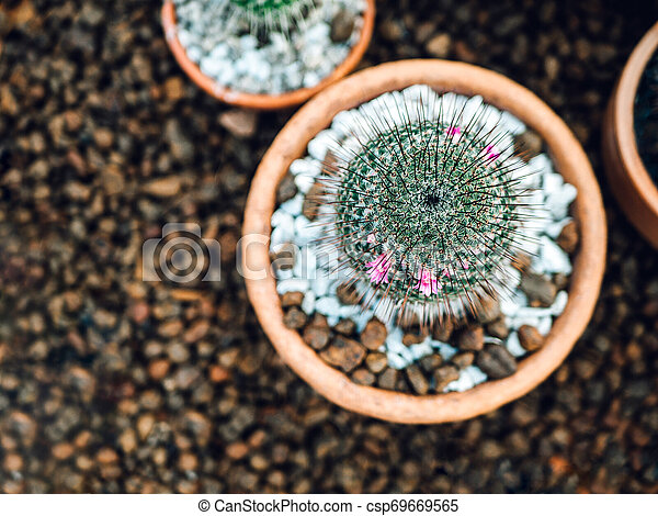 Variety Of Cactus Mammillaria Scrippsiana And Succulent Plants In