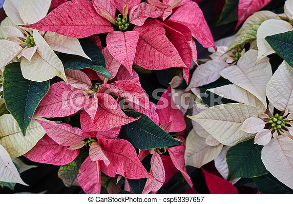 variety of poinsettia in bloom - csp53397657