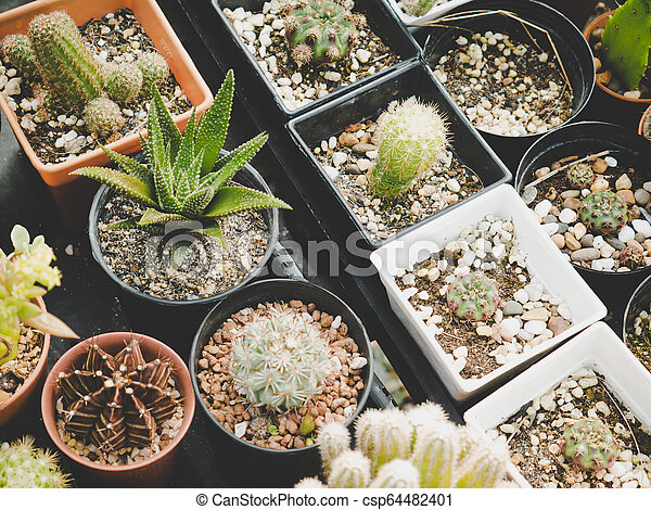Various of cactus plant in farmland. Industrial and Ornamental plant concept. Agriculture and Nature theme. - csp64482401