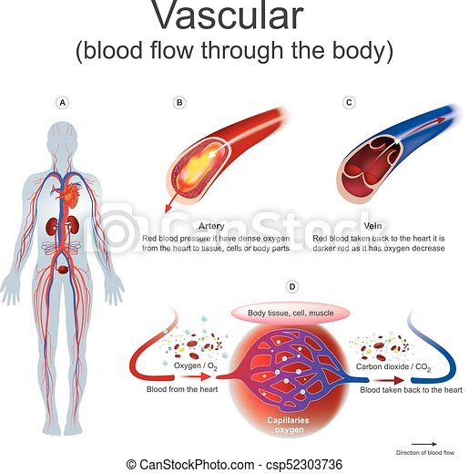 Vascular blood flow through the body red blood pressure it vascular blood flow through the body vector ccuart Image collections