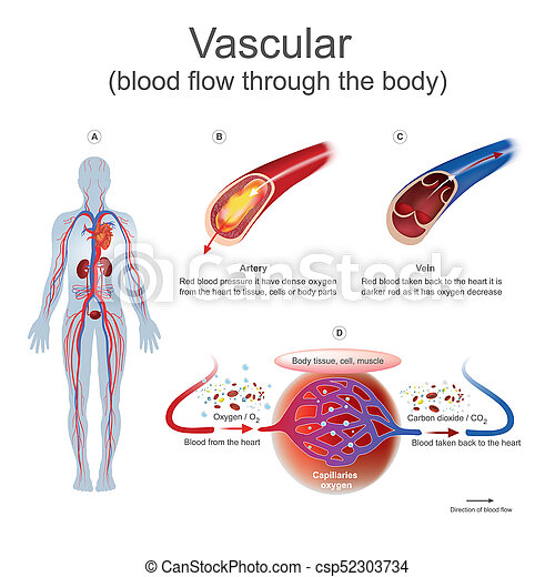 Vascular blood flow through the body. Red blood pressure it have ...