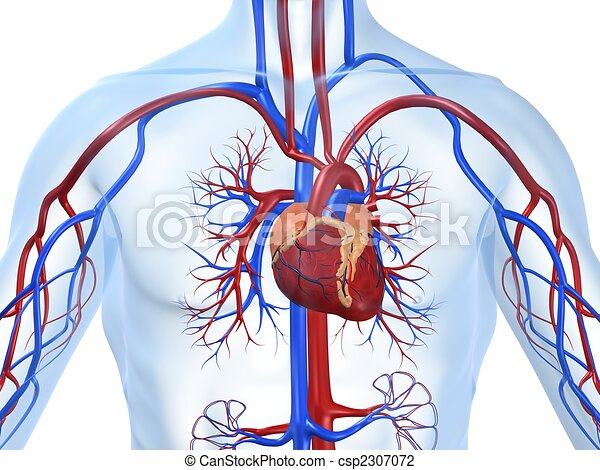 vascular system - csp2307072