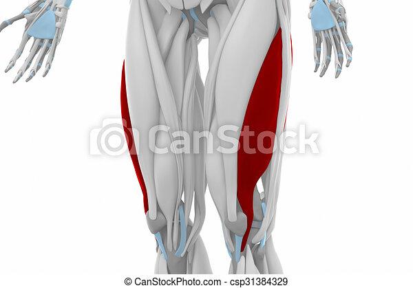 Vastus lateralis - anatomy map muscles.