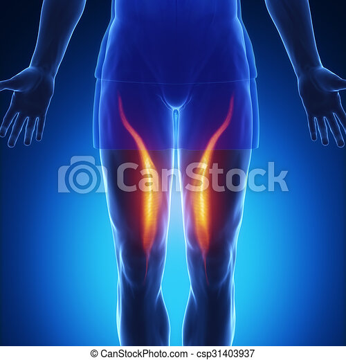 Vastus medialis - blue muscle anatomy. Vastus medialis.