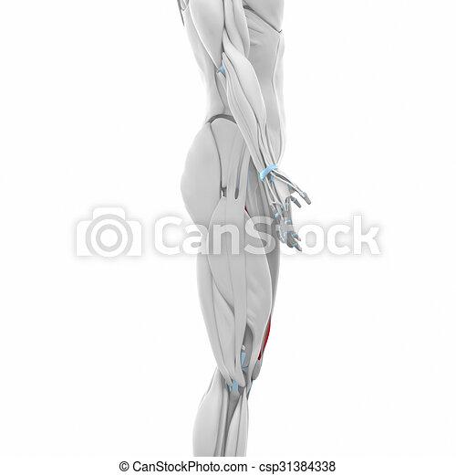 Vastus medialis - muscles anatomy map.