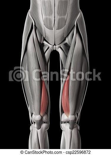 Human muscle anatomy - vastus medialis.