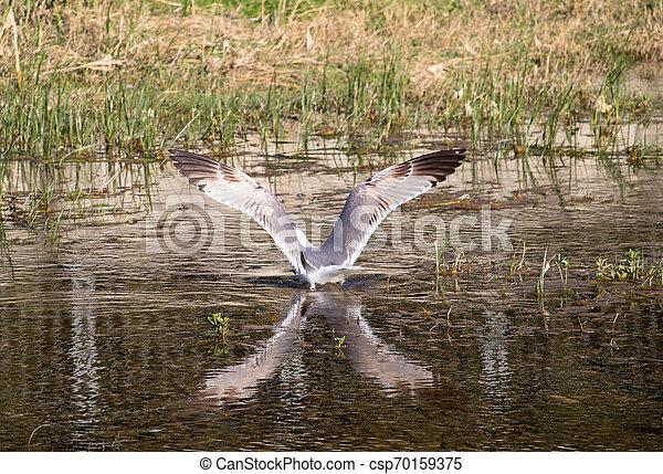 vatten, x, fiskmås, lik, vingbredd - csp70159375