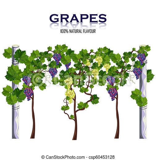 vector., żniwa, winorośl, odizolowany, winogrona, rozwój, biały - csp60453128