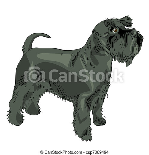 vector black Miniature Schnauzer dog - csp7069494