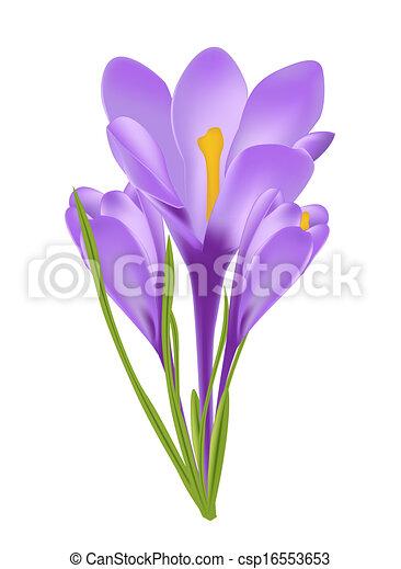 vector, bloem, illustratie, krokus - csp16553653