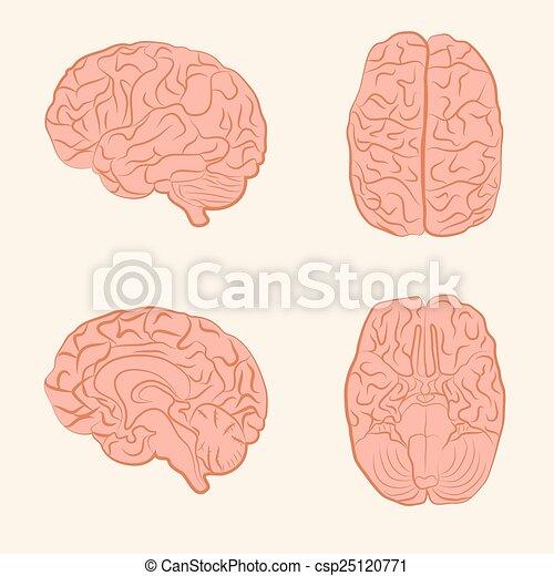 vector brain illustration, - csp25120771