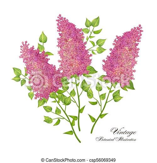 Vector branch of lilac - csp56069349