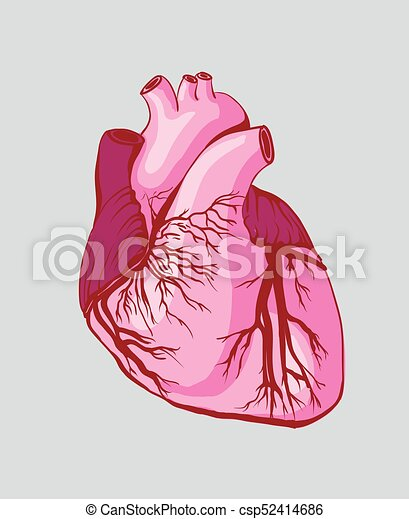 Vector, dibujo, corazón, anatómico.