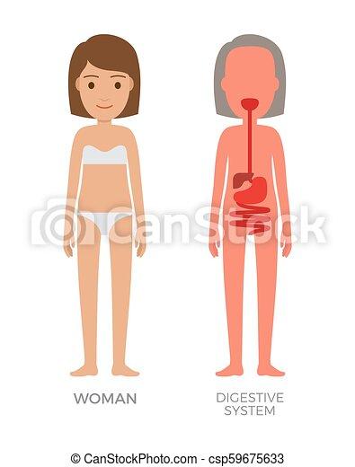 Vector Digestivo Mujer Sistema Ilustración