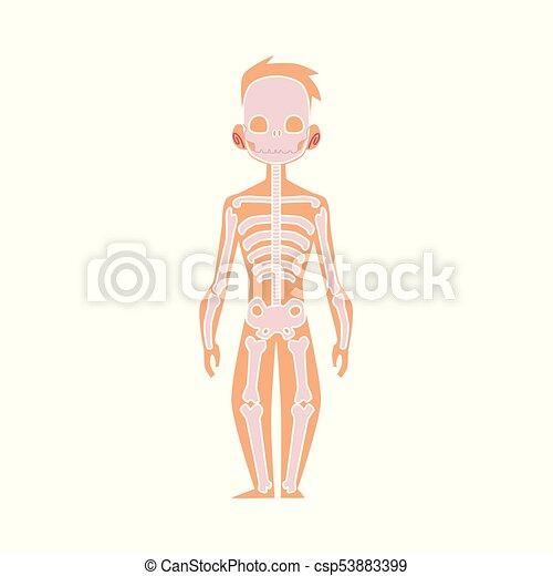Vector Flat Structure Human Body Anatomy Skeleton Vector Flat