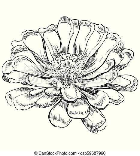 Vector Hand Drawing Flower 6 Hand Drawn Zinnia Flower Vector Monochrome Illustration Isolated On White Background