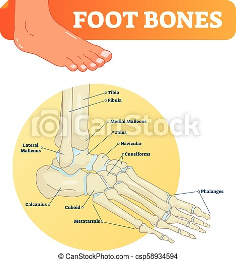 Vector Illustration With Foot Bones Medical Diagram With Tibia