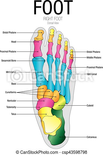 Vector, nombre, imagen, -, gráfico, partes, pie, vista, dorsal.