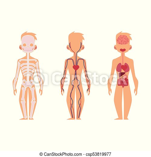 Vector people internal organs anatomy, structure. Vector flat ...