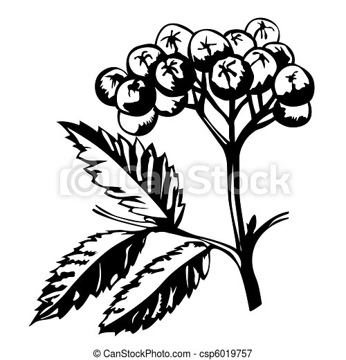 vector silhouette of rowanberry on white background - csp6019757