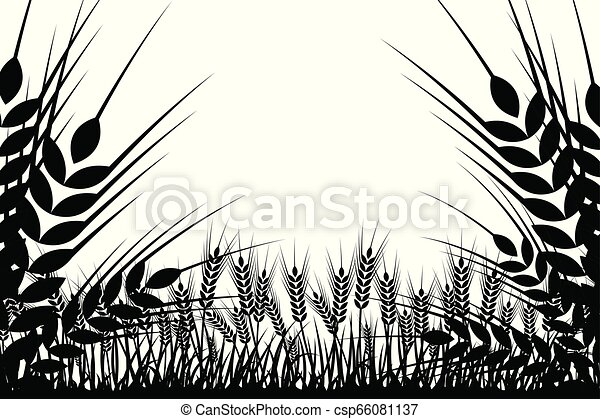 Vector silhouette of wheat. Wheat in the field on a white background. - csp66081137