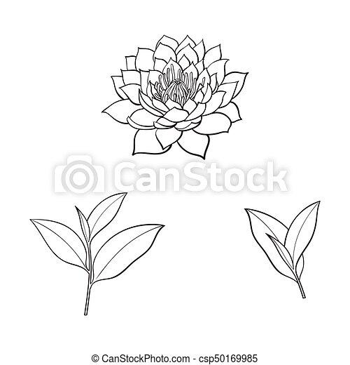 Vector Sketch Lotus Flower Tea Leaves Set Vector Sketch Cartoon