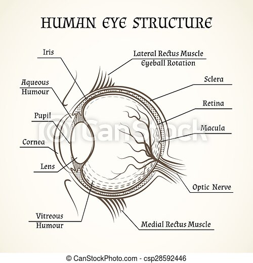 Vector structure of the human eye. anatomy and medicine, iris and ...