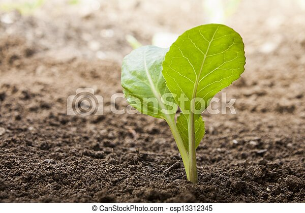 vegetables growing out of soil - csp13312345