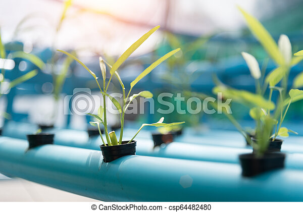 Vegetables Hydroponics farming in farmland background. Organic food and Healthy concept. New technology and Modern agriculture. Smart farming theme. Nature and Environment theme. - csp64482480