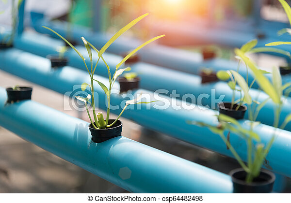 Vegetables Hydroponics farming in farmland background. Organic food and Healthy concept. New technology and Modern agriculture. Smart farming theme. Nature and Environment theme. - csp64482498