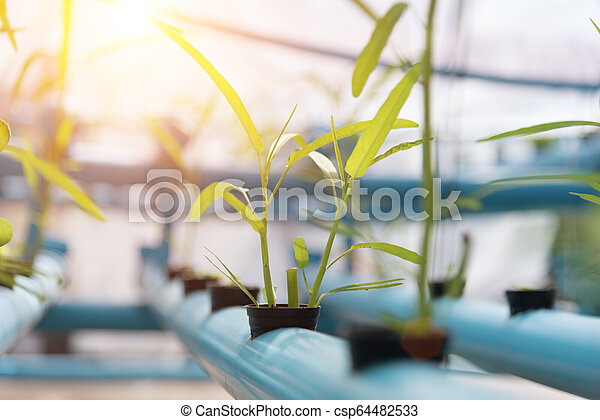Vegetables Hydroponics farming in farmland background. Organic food and Healthy concept. New technology and Modern agriculture. Smart farming theme. Nature and Environment theme. - csp64482533