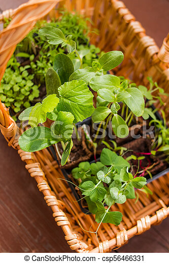 Vegetables Seedlings in peat tablet pot isolated Small plant of cucumber and pea. Germination of seeds in the garden. caring for seedlings in the spring and preparation for transplantation - csp56466331