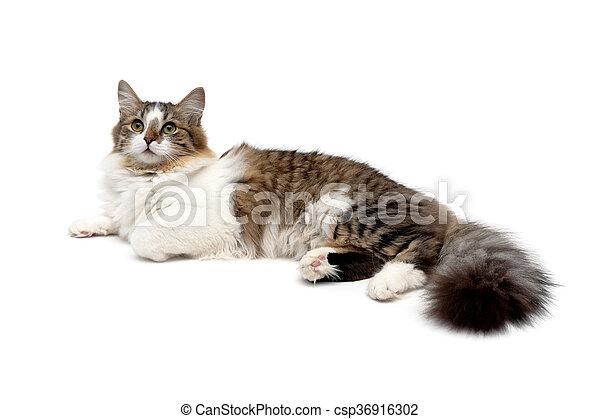 El gato esponjoso está aislado en el fondo blanco - csp36916302
