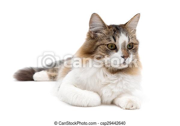 El gato esponjoso está tumbado sobre un fondo blanco - csp29442640