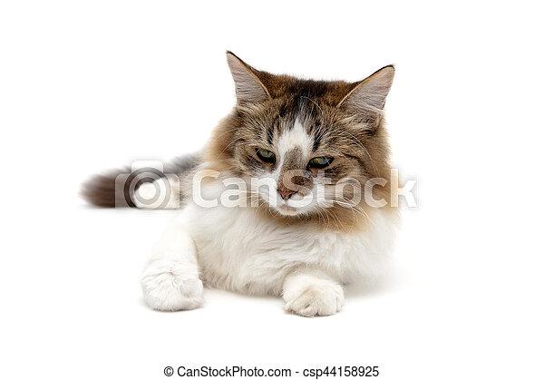 Un gato peludo cerca de un fondo blanco - csp44158925