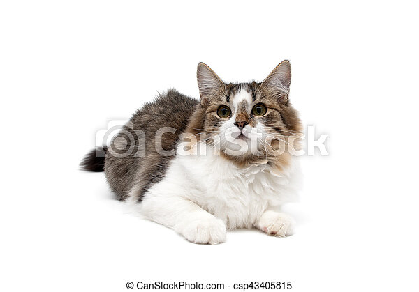 Gato esponjoso aislado en fondo blanco - csp43405815