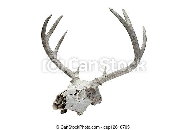 Venado, cráneo. Largo, venado, ilustración, cráneo, cuerno.