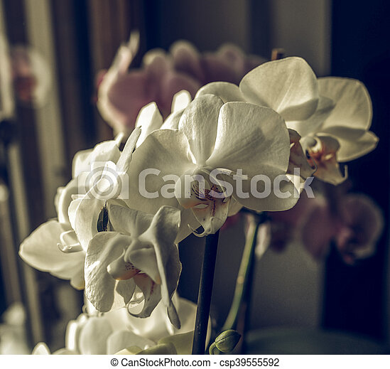 orchidee blanche fanee