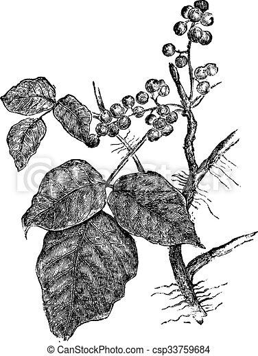 Hiedra venenosa. - csp33759684