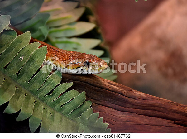 Venomous Snake On a Piece of Wood - csp81467762