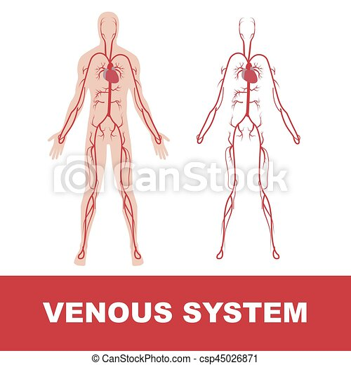 Vector Illustration Of Human Venous System Isolated On White Vectors