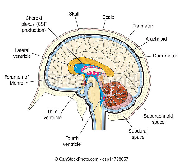 Ventricles Of The Brain Labeled Clipart Vector Search