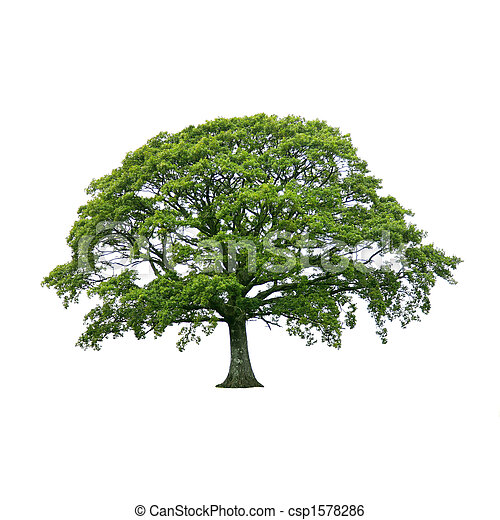 verano, árbol, 1.oak - csp1578286