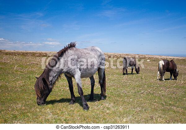 Ponis de exmoor salvaje en los pastos de verano, Gran Bretaña - csp31263911