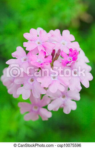 verbena flower - csp10075596