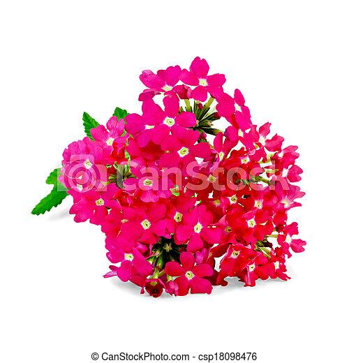 Verbena pink with leaf - csp18098476