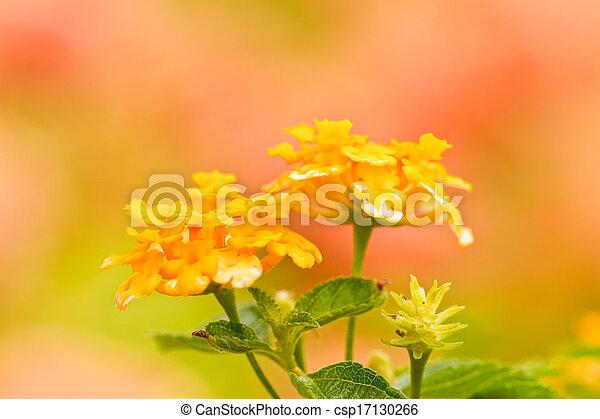 verbenas, kwiaty - csp17130266